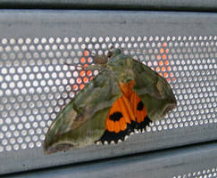 Warning Moth by AirborneTerror