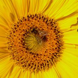 Sunflower2 by Sam-432