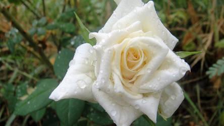 rose by Sam-432