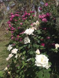 Roses by Sam-432