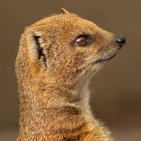 Yellow Mongoose Portrait by steppeland