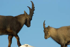 Alpine Ibex - Wrestling or courting? -2of6 by steppeland