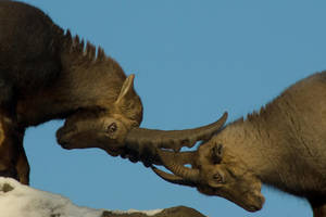 Alpine Ibex - Wrestling or courting? -3of6 by steppeland