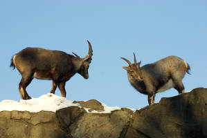 Alpine Ibex - Wrestling or courting? -5of6 by steppeland