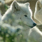 One of the pack - Arctic wolf portrait by steppeland