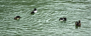 Bathing time for the Tufted Ducks by steppeland