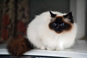 Siamese Persian (Birman) Cat Stock 1 by jojo22