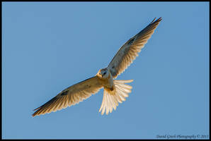 White Tailed Kite by AirshowDave