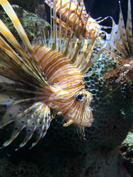 The lion fish by CursedCandy