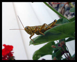 Grasshopper King 1 by composmentis