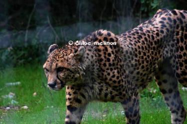 L un des plus beau felin by vachebichon