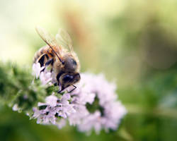 Honey Bee by SprayCaint123