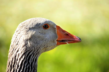 A Goose by SprayCaint123