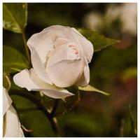 white rose by joannastar
