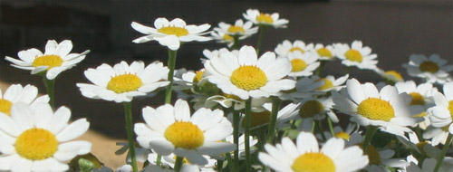 Daisy Chain by asrei
