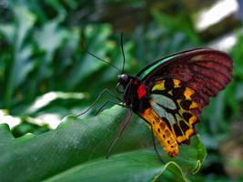 Cairns Birdwing 2 by KMourzenko