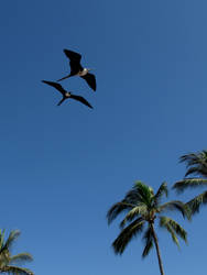 Frigatebirds Over Our Beach by KMourzenko