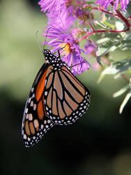 Monarch Butterfly by KMourzenko
