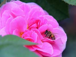 Honey Bee Hiding by KMourzenko
