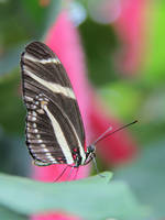 Black and White on Pink. Zebra Longwing Butterfly. by KMourzenko