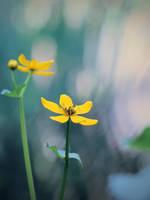 Marsh Marigold by KMourzenko