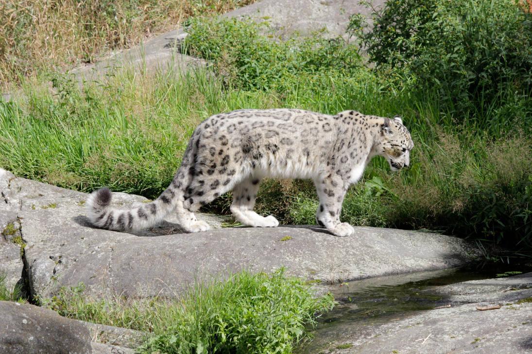 Snow Leopard Stock 4 by PhrejaAlt