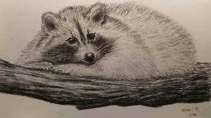 Raccoon charcoal pencil drawing. by akarudsan