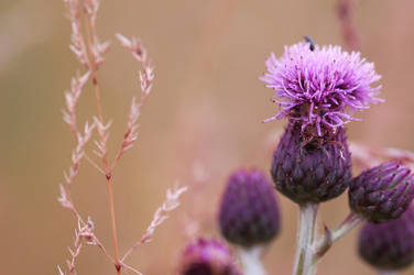 Thistle and grass by Rusty83