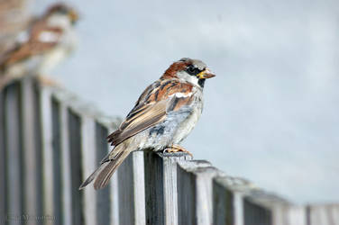 Little sparrow by gogosweden