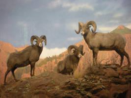 Rocky Mountain Big Horn Rams by DrachenVarg-stock