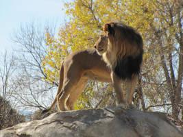 African Lion XXXXII by DrachenVarg-stock