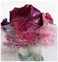 rose de glace by Kaede6