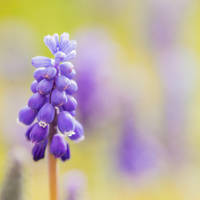 Grape hyacinth by Akxiv