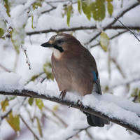 A jay enjoying the snow by Akxiv