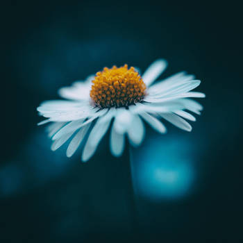 Daisy by Akxiv