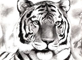 I drew a tiger.  :D by Chibi-Pika