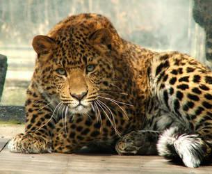 Amur Leopard by Draghonia