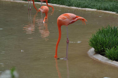 Flamingo by Hrimgrimnir