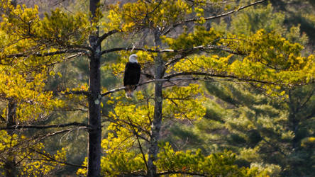 Bald Eagle by Hrimgrimnir