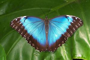 Blue Morpho Butterfly by ArtbyMom