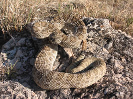 Prairie Rattlesnake by vegeta88