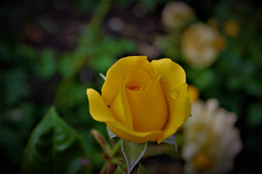 Yellow Rose by BlueDragonRose