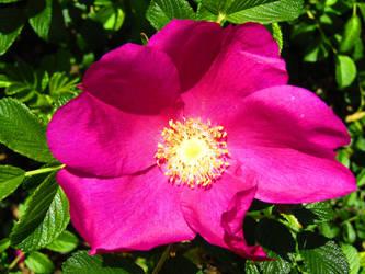 Pink Rose by BlueDragonRose