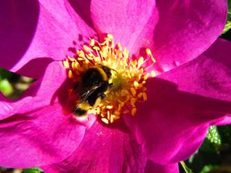 Bee Rose by BlueDragonRose