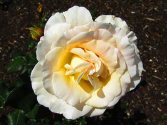 Blush Rose by BlueDragonRose