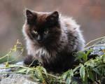 Fluffy Black Kitten I by SweepingShadows