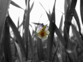 Lonely  flower by GureeNezumi