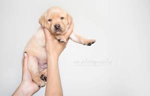 Labrador puppy by Wolfskuss