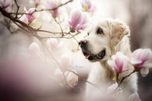 Magnolia Dream by Wolfskuss