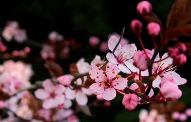 Cherry Blossoms by purpleplatapus714
